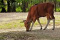 Banteng calf bantengs are a species of wild cattle found in southeast asia many have been domesticated photographed in zoo miami Royalty Free Stock Photography