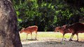 Banteng calf followed by two cows bantengs are a species of wild cattle found in southeast asia many have been domesticated Stock Photography