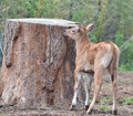 Banteng calf and tree a investigates a large trunk Royalty Free Stock Photo