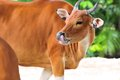 Banteng cow bantengs are a species of wild cattle found in southeast asia many have been domesticated photographed in zoo miami Stock Photography