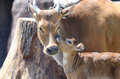 Banteng cuddle a mother and baby Royalty Free Stock Photography