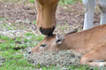 Banteng mother s love a gently touches her calf with her nose Stock Photos