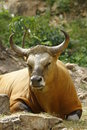 Banteng ou Red Bull Foto de Stock Royalty Free