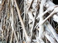 Banyan roots Royalty Free Stock Images