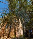 Banyan tree in Cap Malheureux, Mauritius.
