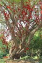 Banyan tree of happiness with red ribbons in china chinese people belief that this robbons will bring them prosperity and wealth Stock Image