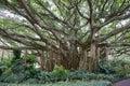 Banyan tree Royalty Free Stock Photo