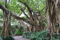 Banyan tree Royalty Free Stock Photo