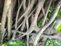 Banyan Tree Roots Royalty Free Stock Photo