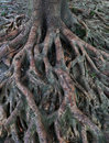 Banyan Tree roots over Earth Surface Royalty Free Stock Photos