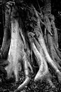 Banyan Tree Trunk and Roots Royalty Free Stock Photo