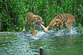 Banyuwangi tiger fights in lake at the safari park in pasuruan east java indonesia Royalty Free Stock Photography