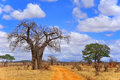 Baobab Royalty Free Stock Photo