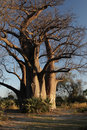 Baobab Stock Photos