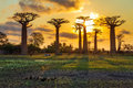 Baobab ducks beautiful trees at sunset at the avenue of the baobabs in madagascar Stock Photos