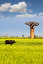 Baobab giant in madagascar with ox in front Royalty Free Stock Photos
