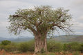 Baobab in the koakoland north of namibia Stock Photography