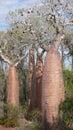 Baobab madagascar typical tree of Royalty Free Stock Photos