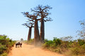 Baobab road very typical image of a malagasy man with his zebu car on the with trees near morondava madagascar on september Stock Photography