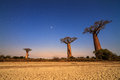 Baobab stars beautiful moonlit trees at night in madagascar with a lot of and a cracked clay dry ground Royalty Free Stock Image