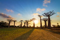 Baobab sunburst beautiful trees at sunset at the avenue of the baobabs in madagascar Royalty Free Stock Images
