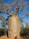 Baobab Tree Royalty Free Stock Photos