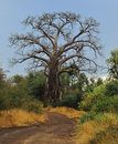 Baobab Tree (Adansonia digitata) Stock Photography