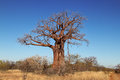 Baobab tree african adansonia against a blue sky Royalty Free Stock Photos