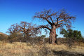 Baobab tree african adansonia against a blue sky Royalty Free Stock Photography