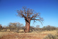 Baobab tree african adansonia against a blue sky Stock Photos