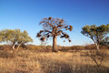 Baobab tree african adansonia against a blue sky with multiple bird nests Royalty Free Stock Photo