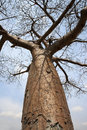 Baobab tree in botswana africa Royalty Free Stock Photos