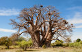 Baobab tree botswana africa very old big could tell lot stories time i took photo had no leaves Stock Image