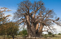 Baobab tree botswana africa very old big could tell lot stories time i took photo had no leaves Stock Photo