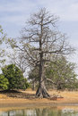 Baobab tree great and old with birds nests in the gambia west africa Royalty Free Stock Images