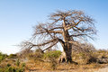 Baobab Tree on Kubu Island, Botswana Stock Images