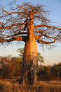 Baobab tree at sunset in botswana Royalty Free Stock Photos