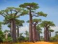 Baobab trees on a dry land and blue clear sky madagascar Stock Photos