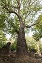 Baobab trees in Ruins of Gedi Royalty Free Stock Photo
