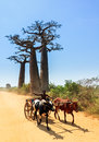 Baobab zebu car very typical image of a malagasy man with his on the road with trees near morondava madagascar on september Stock Photo