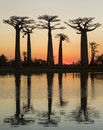 Baobabs at sunrise near the water with reflection. Madagascar. Royalty Free Stock Photo