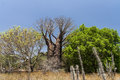Baobabs and vegetation Royalty Free Stock Photo