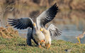 Bar headed Geese figthing Royalty Free Stock Photo