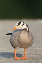 Bar headed goose anser indicus Stock Photo