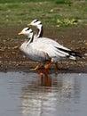 Bar headed goose bird sanctuary india photo taken in shallow water body at bhigwan Stock Photo