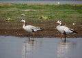 Bar headed goose bird sanctuary india photo taken in shallow water body at bhigwan Royalty Free Stock Photo