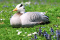 Bar-headed Goose lying on grass Stock Images
