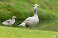 Bar headed goose with young chick in the background Stock Photo