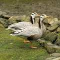 Bar headed gooses two standing next to the other on the grass in front of rocks Stock Photo