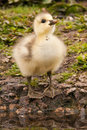 Bar-headed gosling Stock Images